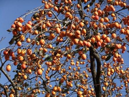 2010.11.28柿の収穫 015