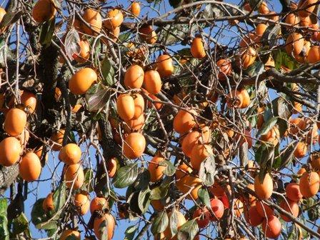 2010.11.28柿の収穫 014