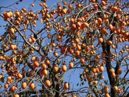 2010.11.28柿の収穫 013