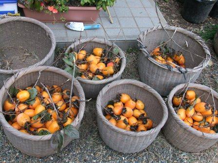 2010.11.28柿の収穫 019