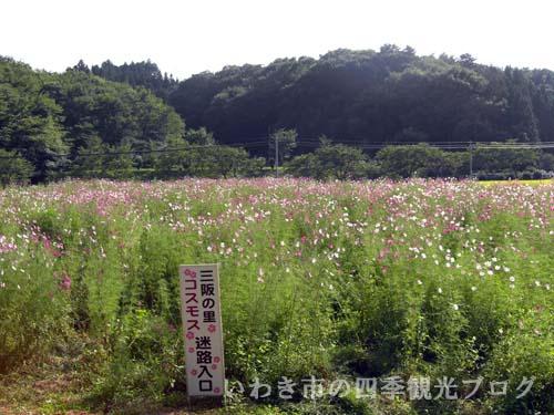 三阪のコスモス