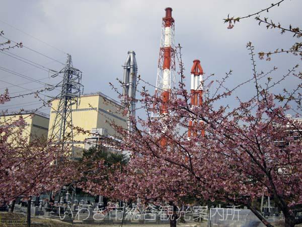 河津桜0329_1