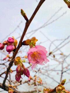 3月1日河津桜