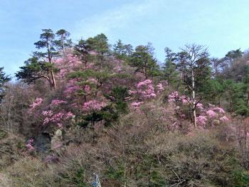 3月29日用アカヤシオ