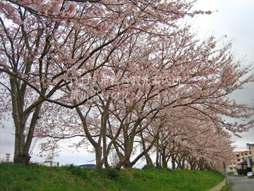 4月15日新川の桜