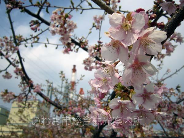 河津桜0329_2