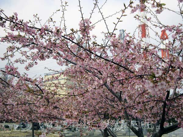 河津桜0329_3