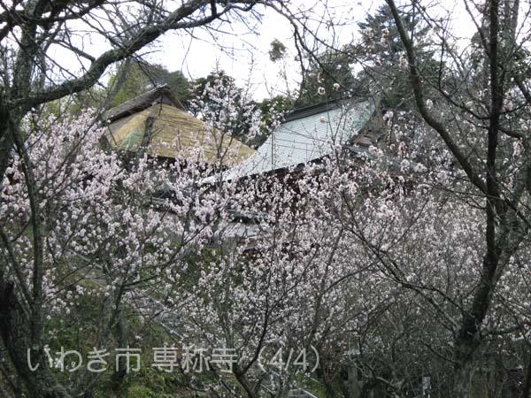 専称寺0404_3