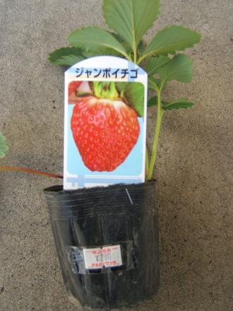 イチゴ苗2