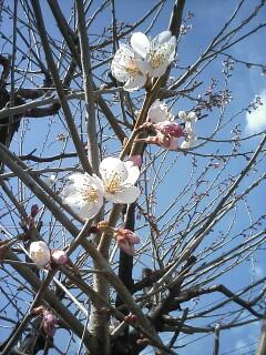 88工房の桃の花