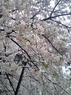 2010sakura3.jpg