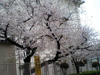 sakura2010-4.jpg