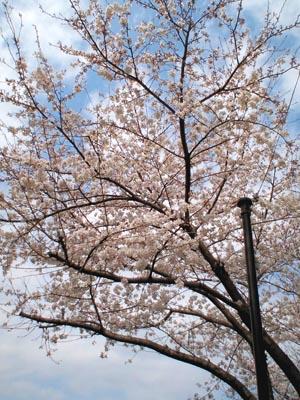 桜がそろそろ