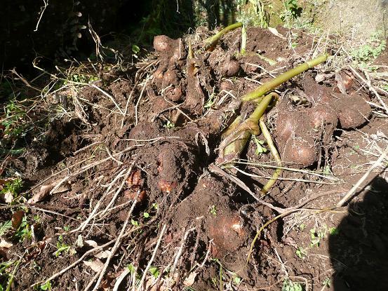里芋の収穫 09,12,14 006
