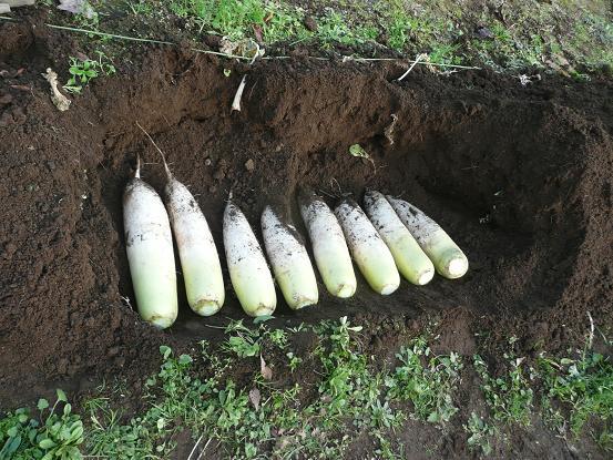 大根の収穫 09,12,23 006