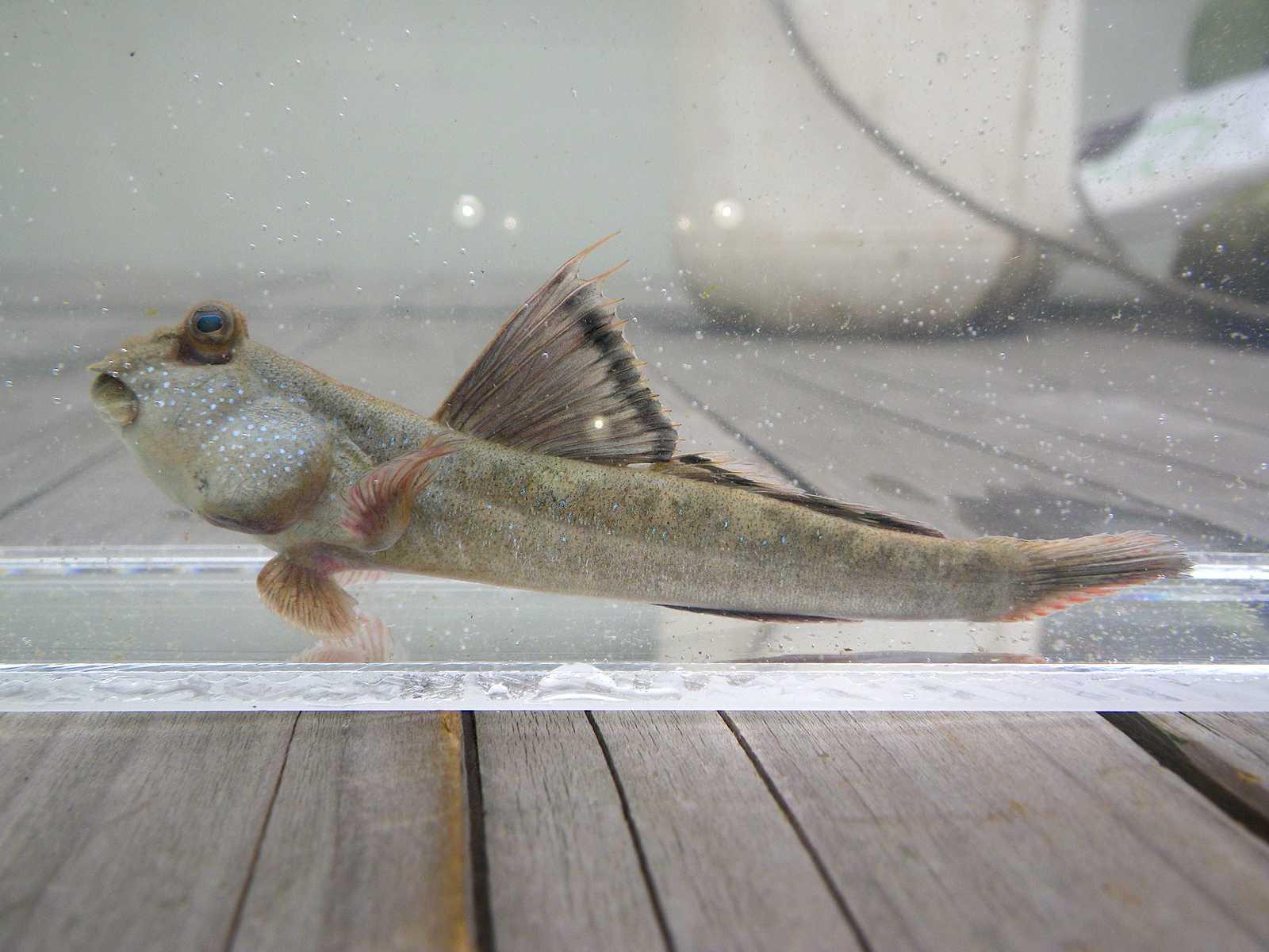 큰볏말뚝망둥어(クンビョッマルットゥクマンドゥンオ 和名不明 トビハゼ属の魚 Periophthalmus magnuspinnatus)