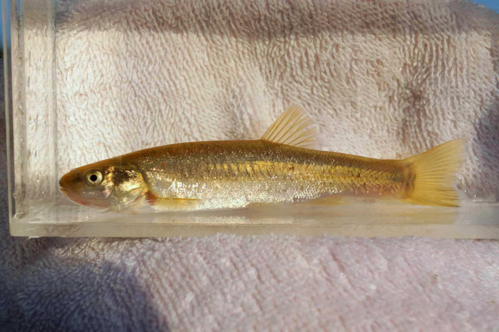 버들치(ボドゥルチ 和名コウライタカハヤ Rhynchocypris oxycephalus)