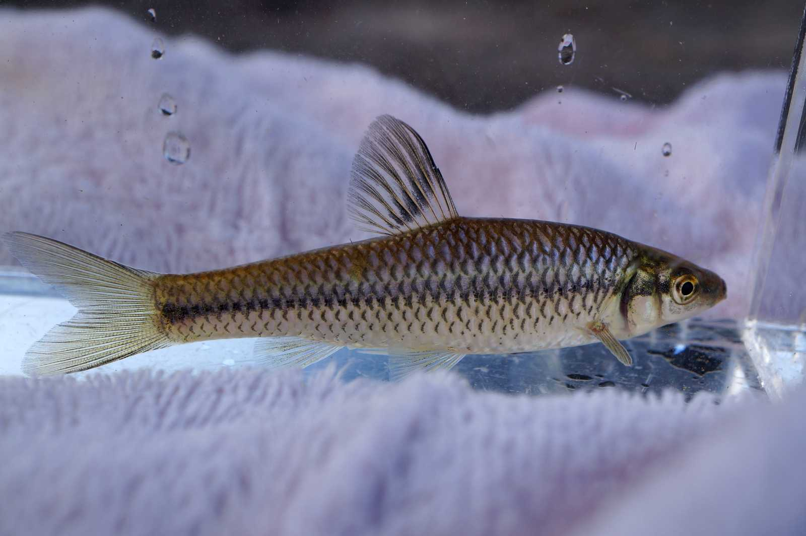 참붕어(チャムブンオ 和名モツゴ Pseudorasbora parva)
