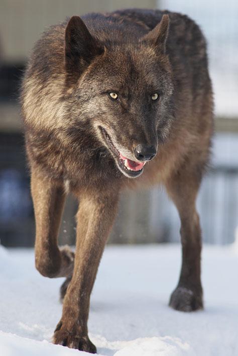 シンリンオオカミ3