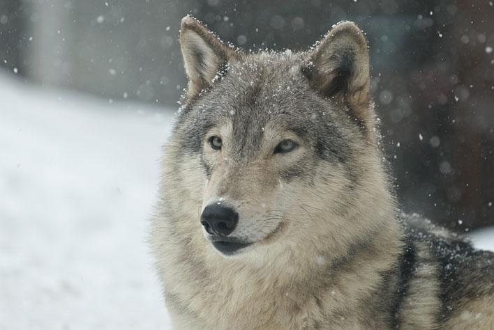 シンリンオオカミ2