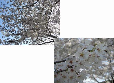 2010桜