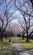 桜並木02