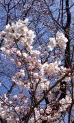 桜並木03