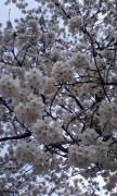 お花見040503