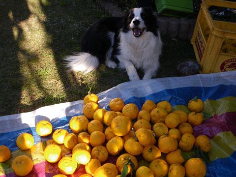柚子、大収穫