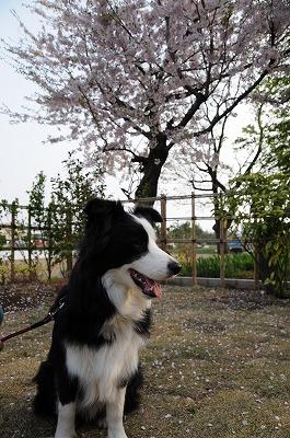 DSC_6433_12884-5日桜