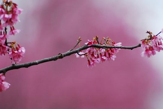 おかめ桜14