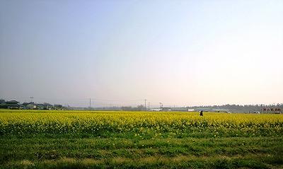 ハーブ 菜の花4