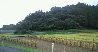 稲刈り1537