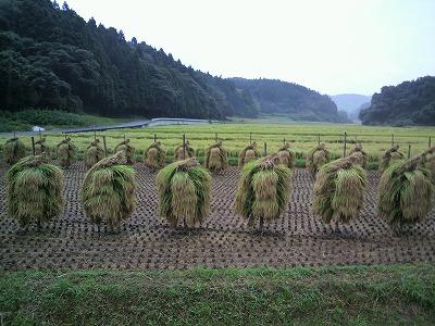 稲刈り35