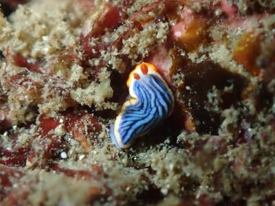 07-03 サメジマオトメウミウシ