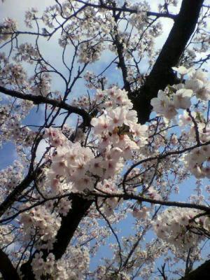 刈谷球場・桜