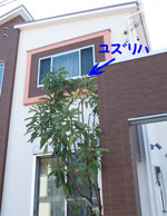 yuzuriha3.jpg