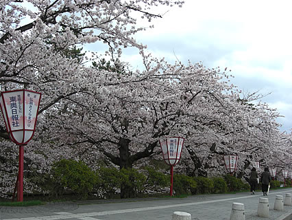 弘前公園 外堀の桜(市役所近辺)