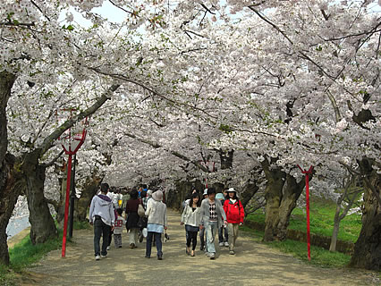 弘前公園 さくらまつり 桜のトンネル