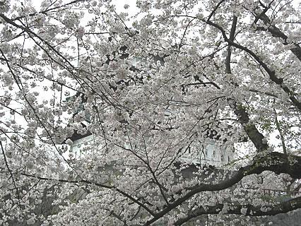 弘前公園 さくらまつり 桜でモザイクのかかった弘前城