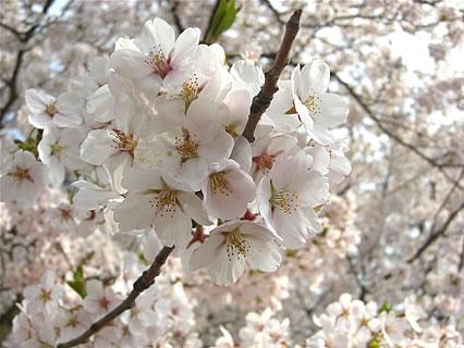 弘前公園 さくらまつり 桜のアップ