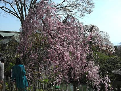 塩竈神社の桜-2