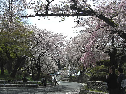 塩竈神社の桜-3