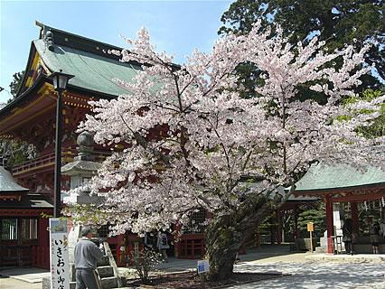 塩竈神社の桜-1