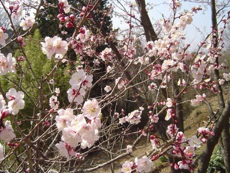 三島韮山梅開花2