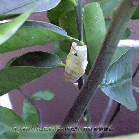 アゲハの蛹の抜け殻 2009-12-23