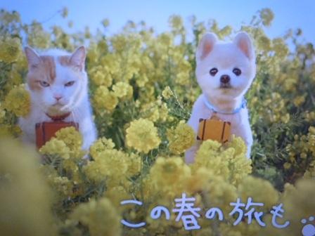 じゃらん菜の花