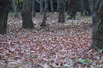秋の終わり・・・栗林の落ち葉