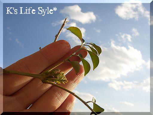 シマトネリコの新芽