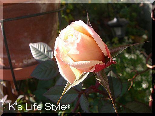 咲きはじめたバラ